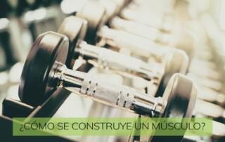 ¿Cómo se construye un músculo