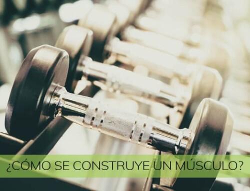 ¿Cómo se construye un músculo?